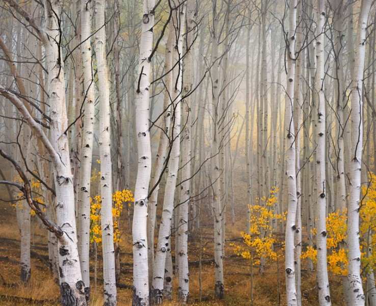 Aspen in Fog, Boulder Mountain, Utah