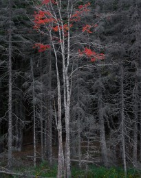 Bare Trees, Red Leaves, Acadia, ME