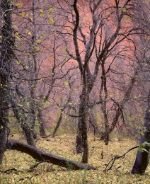 Trees, Kolob Canyon, Zion Nat'l Park