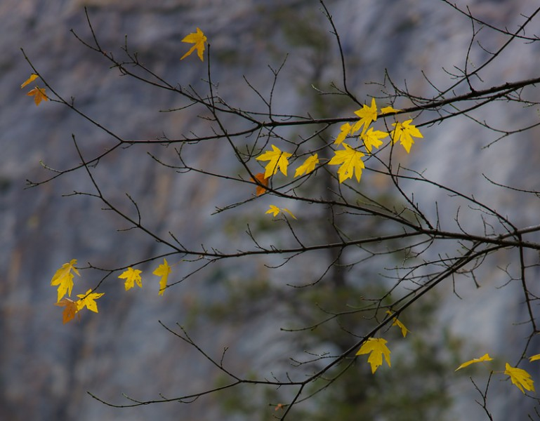 Yellow Maple Leaves, Yosemite Nat'l Park