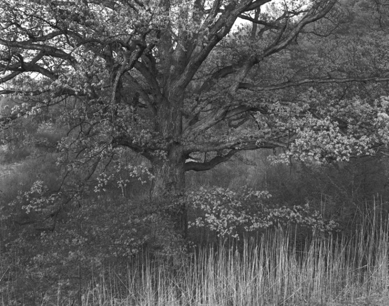 Oak Tree, Holmdel, NJ