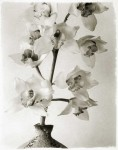 White Cymbidiums