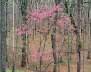 Flowering Redbud, Kentucky