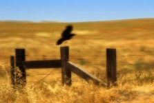 Crow & Fencepost