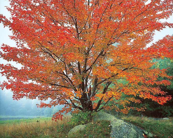 Wild Red Maple & Fog, New Hampshire
