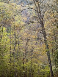 Spring Canopy, Great Smoky Mountians