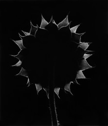 Backlit Sunflower: Paul Caponigro