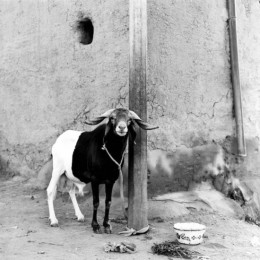 Black & White Goat