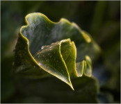 Twisted Leaf (#2397)