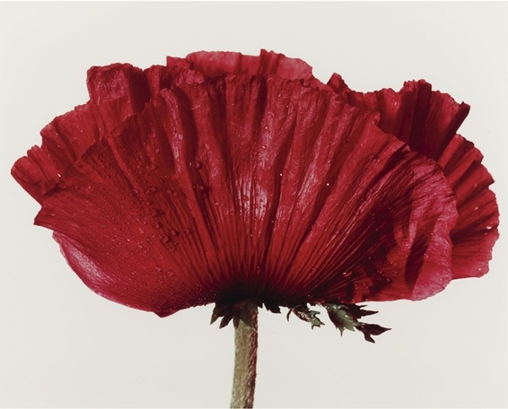 Poppy, Glowing Embers: Irving Penn