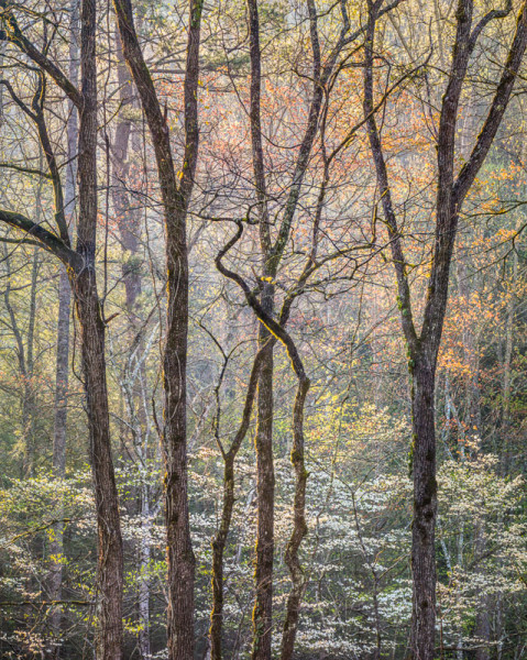 Intertwined Branches and Dogwood, Great Smoky Mtns