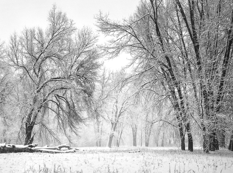 Oaks, Meadow, Snowstorm, Yosemite