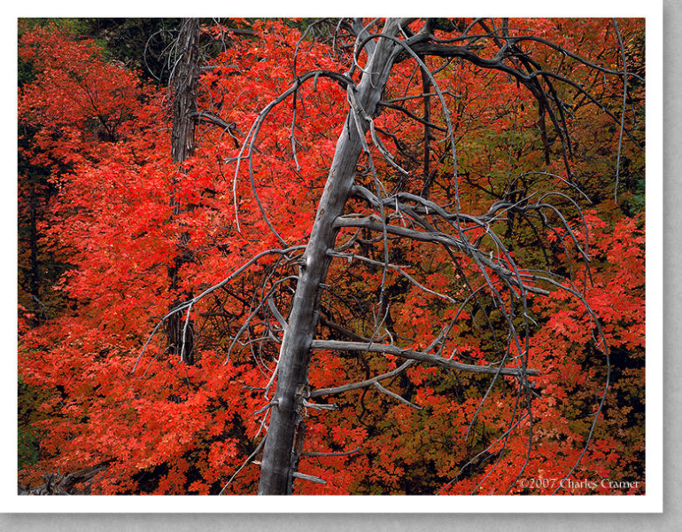 Snag and Maples, Autumn, Zion