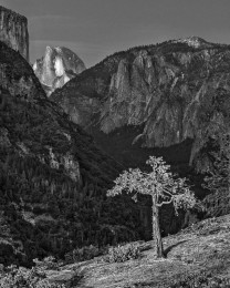 Half Dome Overlook, Scorched Tree, Yosemite