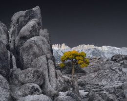 Lone Tree at Sunrise, Alabama Hills, Autumn