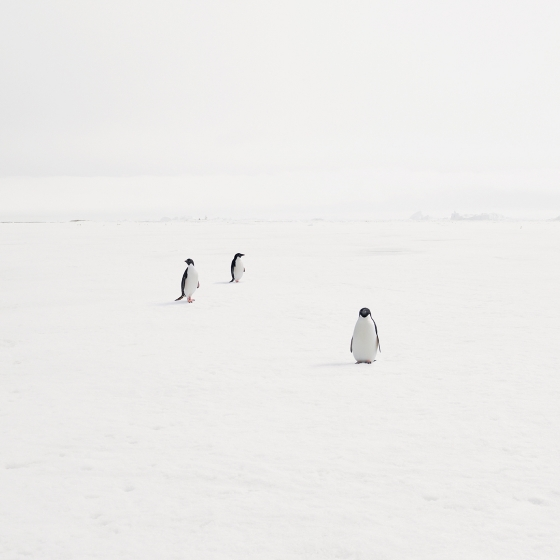 Adeli Penguins on Fast Ice, Antarctica