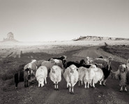 Sheep, Monument Valley: Joan Myers
