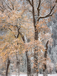 Autumn Snow, Black Oaks, Yosemite