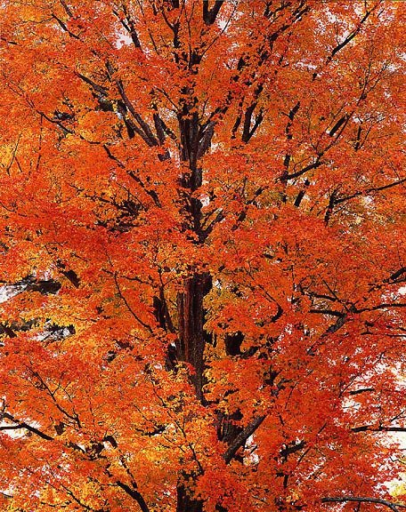 Orange Maple at Sunrise, PA