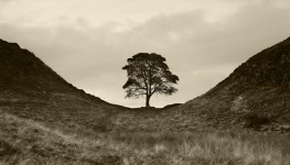 Hadrian's Wall Tree, UK