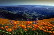 Cuesta Grade Wildflowers