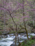 Redbud and Little River, Great Smoky Mountain