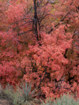 Maples and Succulents, Fall, Zion, Utah