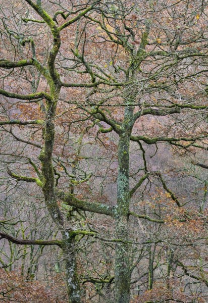 Intertwined Trees near Derwentwater, England