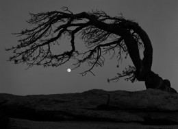 Moon, Jeffrey Pine, Yosemite