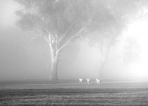 Fog & Three Sheep, Mansfield, Victoria, Australia