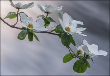 Dogwood Blossoms, Merced River, Yosemite