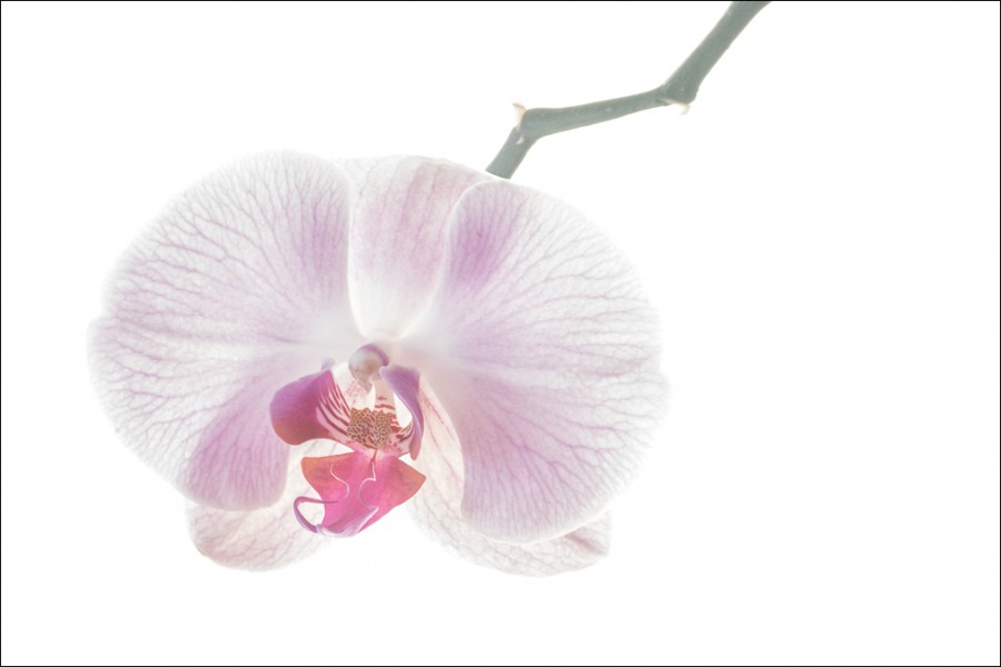 Purple Orchid #2