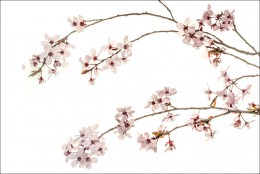 Purple Plum Blossoms #4