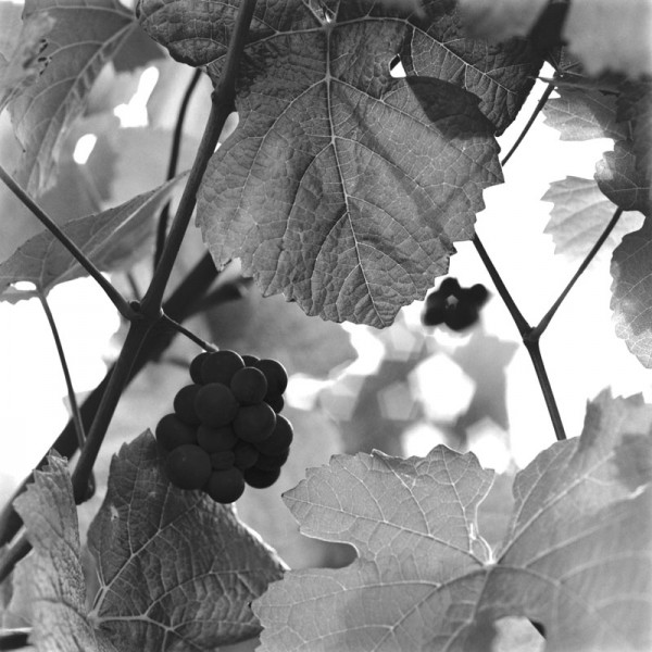 Pinot Cluster