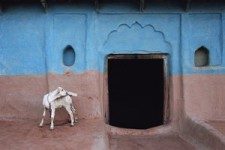 White Goat, Bangra, Uttar, Pradesh, India