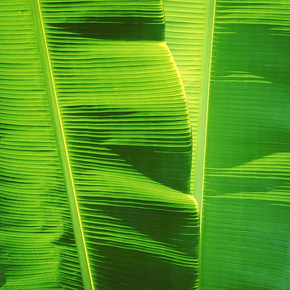 Green Banana Leaves, Hawaii