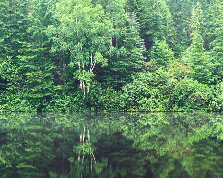 Tranquil Forest, Maine