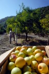 See Canyon Apple Harvest