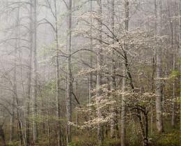 Dogwood, Morning Fog, Smoky Mtns