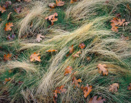 Leaves and Grasses, Fall, Turtleback Dome, Yosemite