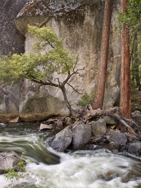 Live Oak and Boulder, Merced River, Yosemite