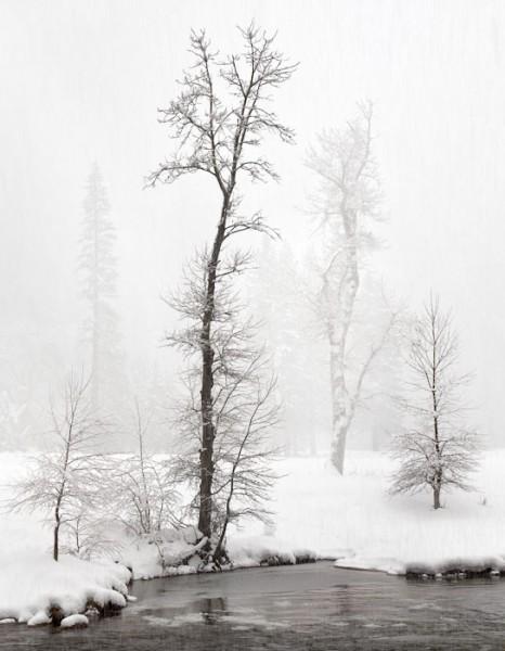 Snowstorm, Cottonwoods Along Merced River, Yosemite