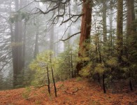 Trees in Fog, Wawona Road, Yosemite