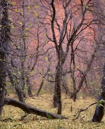 Trees, Kolob Canyon, Zion Nat'l Park