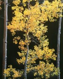 Graceful Aspens, Colorado