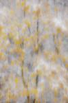 Oaks in Autumn Snowstorm, Ahwahnee
