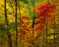 Red Maples and Autumn Forest, Great Smoky Mountains
