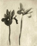 Iris II