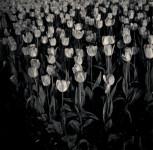 Night Tulip, Central Park, NY