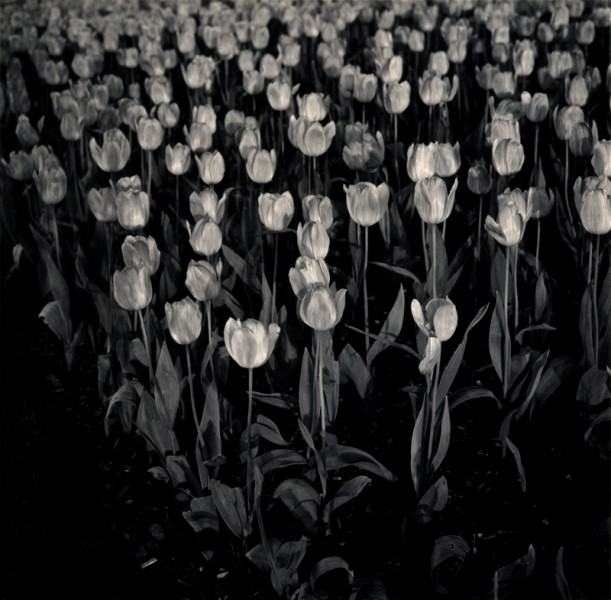 Night Tulip, Central Park, NY